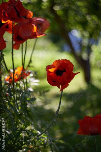 Staande foto Klaprozen Sunny poppies.