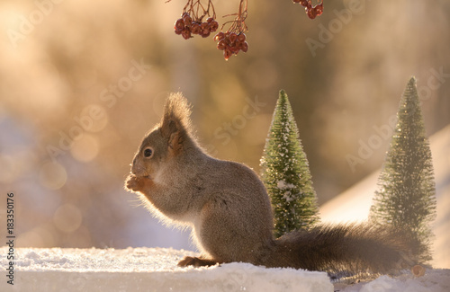 Foto op Canvas Natuur squirrel standing on ice with trees