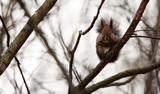 Scoiattolo buffo curioso in posa sul ramo d'albero nel bosco - 183351337