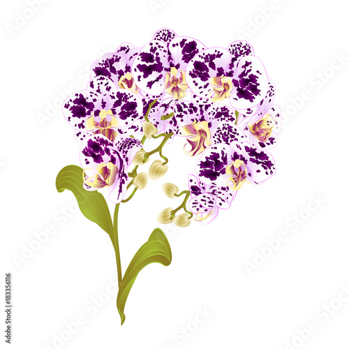 Branches orchid Phalaenopsis spotted purple and white flowers tropical plants green stem and buds and leaves  vintage vector botanical illustration for design editable hand draw