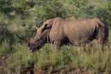 Full horn Rhino - 183357318
