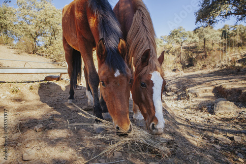 Plexiglas Paarden Close up of two beautiful brown horses eating grass from the ground.