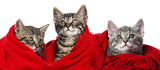 cute kittens with a red scarf on white - 183364334