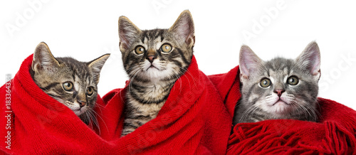 Plexiglas Kat cute kittens with a red scarf on white