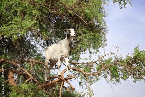 Papiers peints Maroc Goat on the argan tree, Morocco
