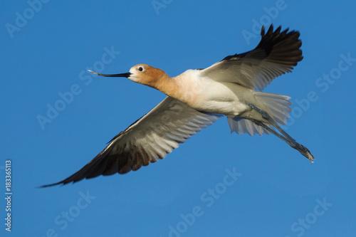Female Avocet in Flight