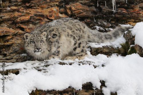 Fototapeta Snow Leopard Cub