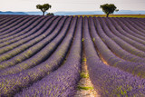 Provence lavender fields in France. Purple waves. - 183369359