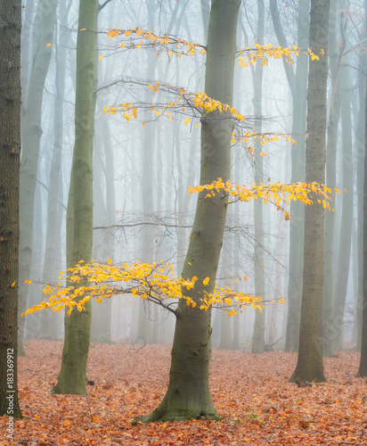 Tuinposter Herfst The last autumn leaves in a misty forest.