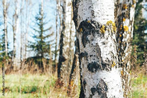 Plexiglas Berkenbos birch forest in sunlight