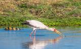 Yellow-billed stork, Chobe National Park, Botswana - 183380353