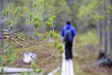 Hiking in the fresh air. Woman walking on the wooden path out of focus. Focus point on the pine branch. Hiking concept image. Outdoor photo. - 183383190