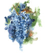 Grapes on a vine black grapes harvest season wine healthy food watercolor painting illustration isolated on white background