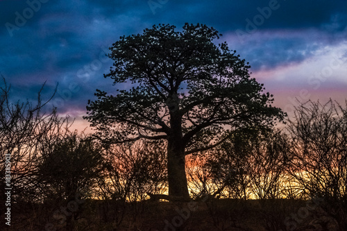 Foto op Canvas Baobab Sunset, Baobab tree, Kasane, Chobe National Park, Botswana