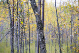 Yellow birch forest in the swamp area in Finland. Autumnal day. - 183386524