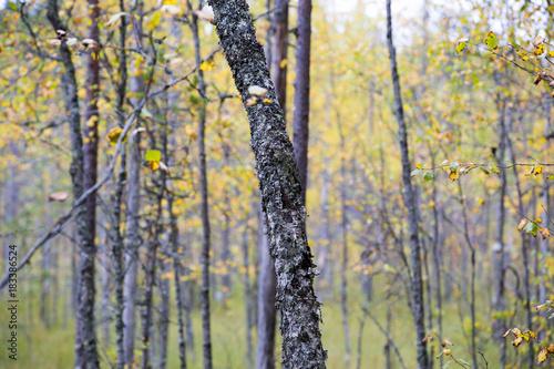 Plexiglas Berkenbos Yellow birch forest in the swamp area in Finland. Autumnal day.