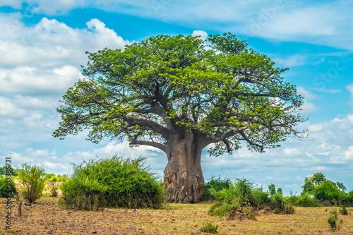 In de dag Baobab Baobab tree, Chobe National Park, Botswana