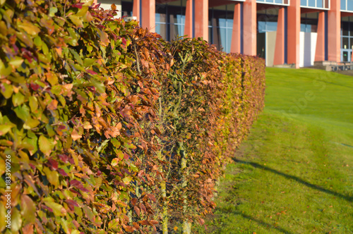 Green shrubs of a tree in the garden at building background Poster