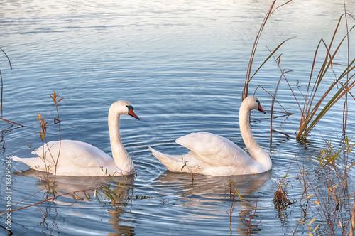 Plexiglas Zwaan two white swans