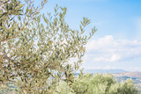 Olive trees banches with mountains and fields in the background. Olive fields. - 183395979