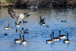Canada Goose Landing Among Friends on the Still Blue Pond Water