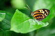 Butterfly on a Green Leaf