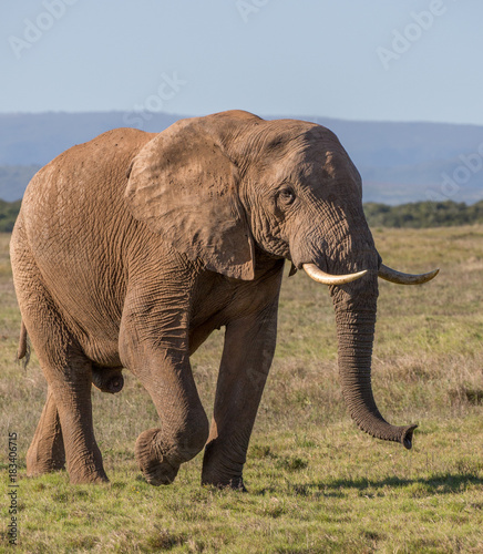 Foto op Canvas Natuur African Elephant Male in South Africa