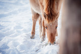 Horse of the breed Polish konik pose for portrait in winter against the background of snow - 183408725