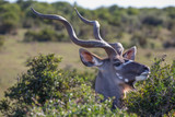 Kudu Antelope Male with Long Horns - 183409565