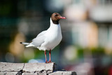 Seagull stands on a brick wall - 183409952