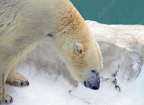 Plexiglas Ijsbeer Polar bear, a species native to the arctic north and Alaska and sensitive to climate change and global warming