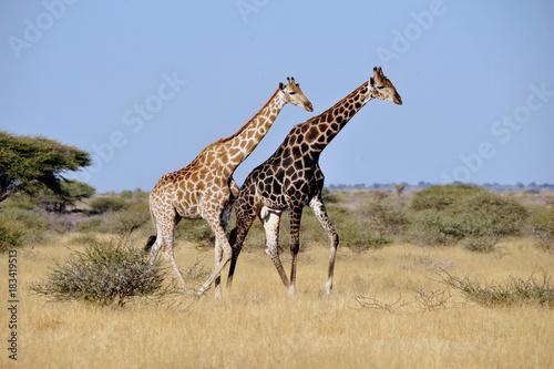 Botswana Chobe 2016 Giraffe Poster