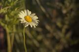 Ox-eye Daisy at Sunrise - 183425194