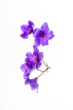 violet flowers isolated - 183435527
