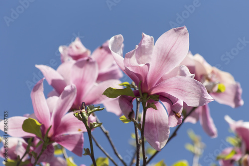 Fotobehang Lichtroze magnolia flowers