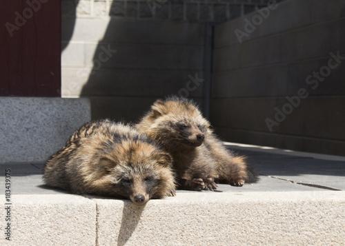 Papiers peints Seoul Raccoon Dogs Relaxing at Korean Temple