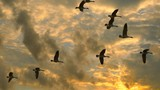 Flock of Canadian Geese flying, slow motion, in exceptionally dramatic sunrise sky.  - 183442578