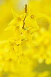 Spring gentle yellow blooming background. Flowering yellow branches. Spring flowers - 183443789