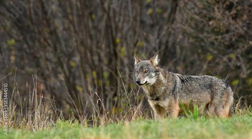 Plexiglas Wolf wilder Wolf im hohen Gras