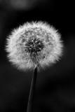 Dandelion. - 183445556
