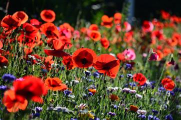 Mohn, Rot, Natur, Wiese, Sommer, Blumen, Blühen, Garten, Farbe
