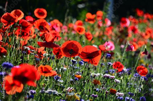 Plexiglas Klaprozen Mohn, Rot, Natur, Wiese, Sommer, Blumen, Blühen, Garten, Farbe