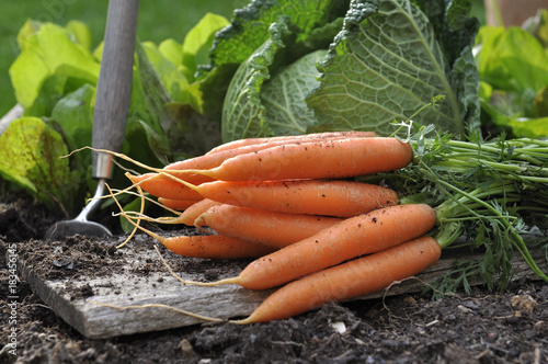 fresh carrots put on a plank in vegetable garden  - 183456145