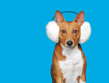 Closeup picture of red dog wearing fluffy headband on blue background - 183457334