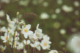 Beautiful white anemona flowers growing on the meadow in spring time, natural outdoor seasonal soft background - 183463966