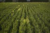 Texture of barley ears - 183471137