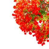 bouquet flamboyant, fond blanc  - 183482137