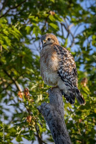 Plexiglas Napels Red-tailed hawk (Buteo jamaicensis) at Bird Rookery Swamp, Naples, Florida