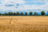 a barley field in agriculture - 183495992