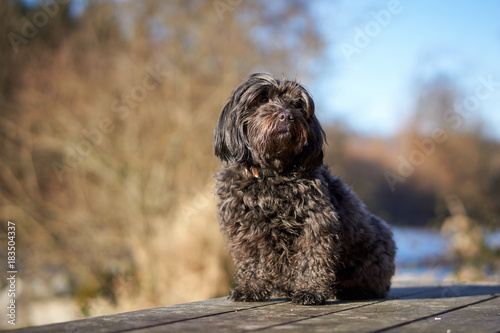 Black havanese dog sitting on a table in autumn